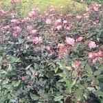 神代植物公園のばら
