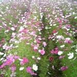 コスモス花盛り